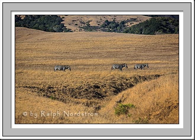 Hearst Castle Herd