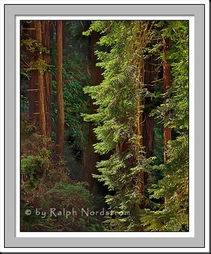 old_coast_road_redwoods_120808_4X5