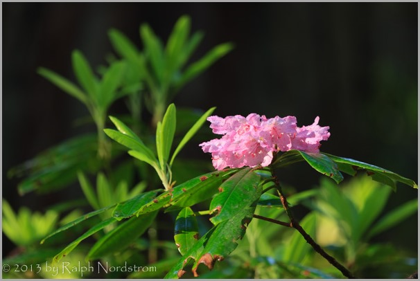 rhododendron-redwoods_140528__SM30502