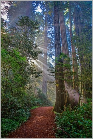 redwoods_guiding_light_130427