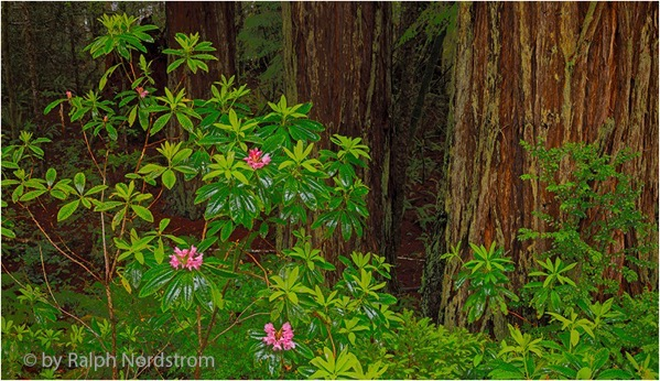 Rhododendron spring 130529